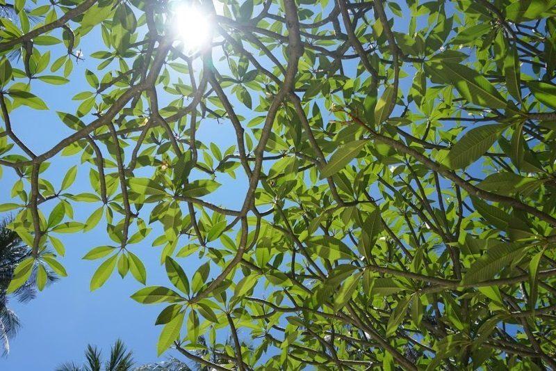 タイの植物と太陽。