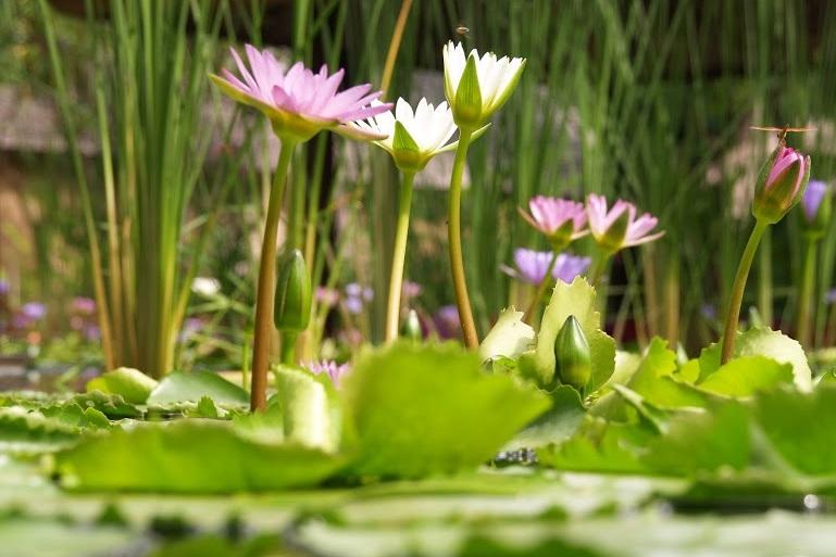 タイのハスの花。