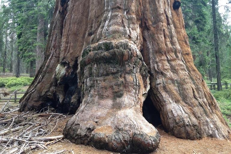 セコイアの木。