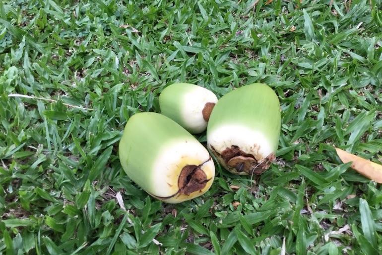 ココナツの実。