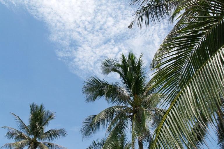 タイのヤシの木。