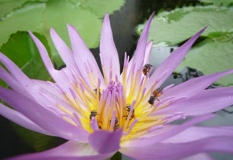 タイの紫色のハスの花。