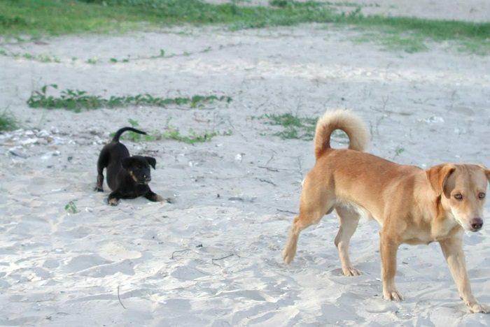 タイのビーチ 犬の親子